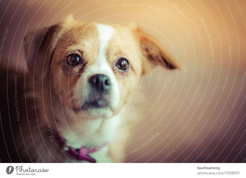 neugieriger Blick Tier Wärme Haustier Hund Fell 1 klein braun weiß Augen Halsband Jng Kopf Mischling Portrait Säugetier Farbfoto Gedeckte Farben Innenaufnahme