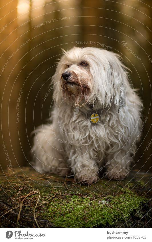 Hochsitz Tier Moos Wald Fell langhaarig Haustier Hund 1 klein weiß Stolz Bichon Haushund Havaneser Podest Portrait Rassehund Säugetier Farbfoto Außenaufnahme