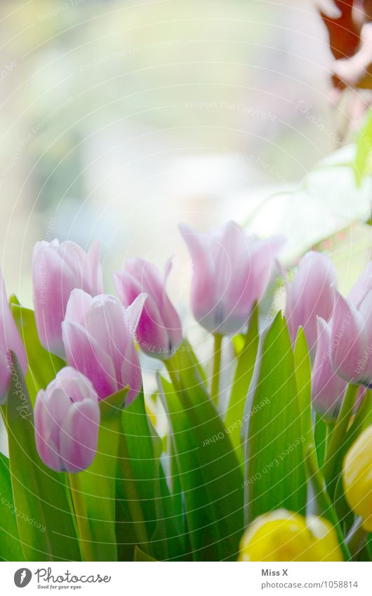 Bunter Strauß Natur Frühling Schönes Wetter Blume Tulpe Blüte Wiese Blühend gelb violett rosa Stimmung Frühlingsgefühle Tulpenblüte Frühlingsblume