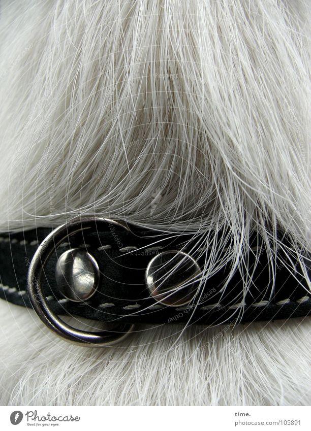 Leather Grrrl schön weiß grau Haare & Frisuren Hund braun Metall liegen Reichtum Leder Säugetier Glätte Naht Haarsträhne Halsband Hundehalsband
