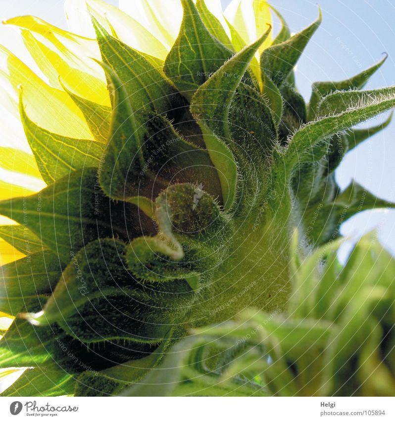 sonnenblumig... Himmel weiß Sonne Blume grün blau Sommer gelb Lampe Blüte Beleuchtung Spitze Stengel Blühend Sonnenblume
