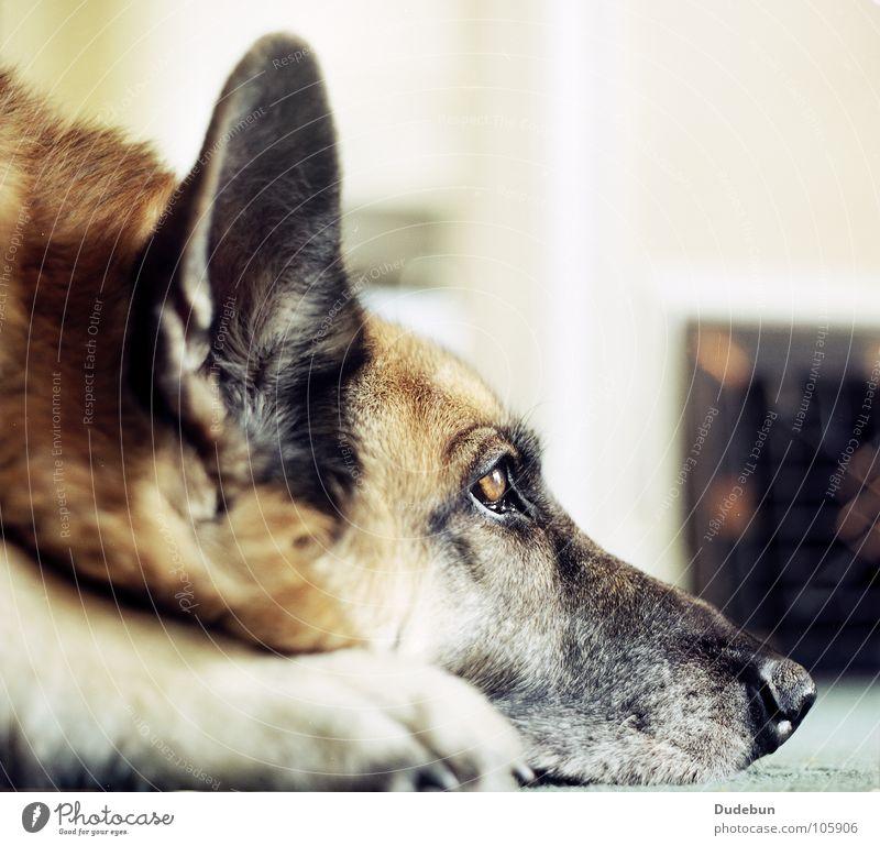 the dog ruhig Haustier Hund 1 Tier Blick warten loyal Tierliebe Wachsamkeit Freundlichkeit analog Säugetier Deutscher Schäferhund Farbfoto Innenaufnahme