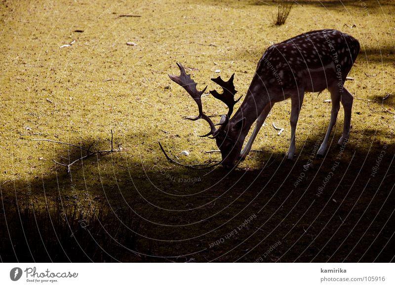 fliegenpilz Sonne grün Gras Wildtier Jagd Weide Fressen Säugetier Horn hart Hirsche Reh Photo-Shooting Vieh