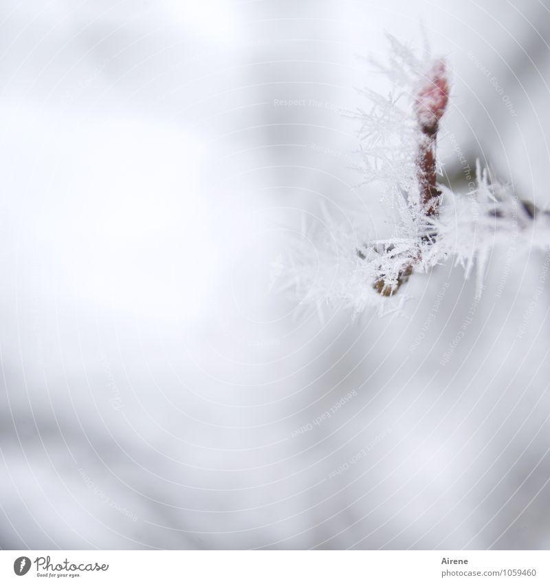 Frost I Natur Pflanze weiß Baum rot Winter kalt Schnee Eis Klima ästhetisch Spitze Zweig bewegungslos frieren