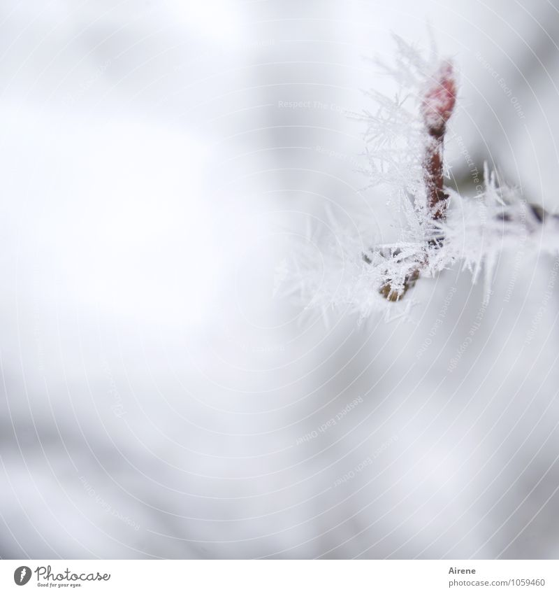 Frost I Winter Eis Schnee Pflanze Baum Zweig Blattknospe Felsenbirne Kristallstrukturen Eiskristall frieren kalt Spitze stachelig rot weiß Klima Natur
