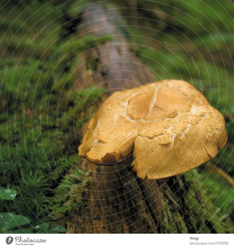 Pilze sammeln... grün Wald Herbst braun frisch Wachstum Bodenbelag Vergänglichkeit feucht Baumstamm Gift gerissen Lamelle Waldboden Fichte