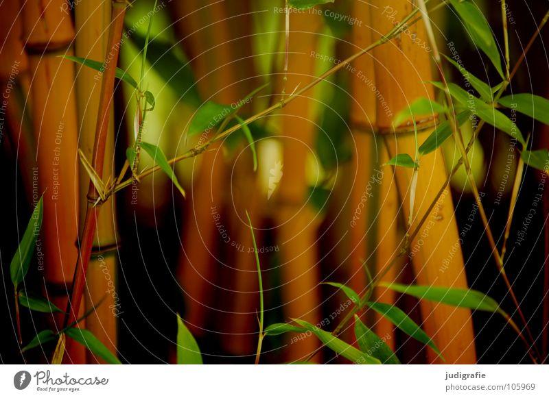 Bambus Blatt Pflanze Sträucher grün Wachstum Umwelt Holz Wald Farbe Sommer Garten Park Bambusrohr Natur Schilfrohr
