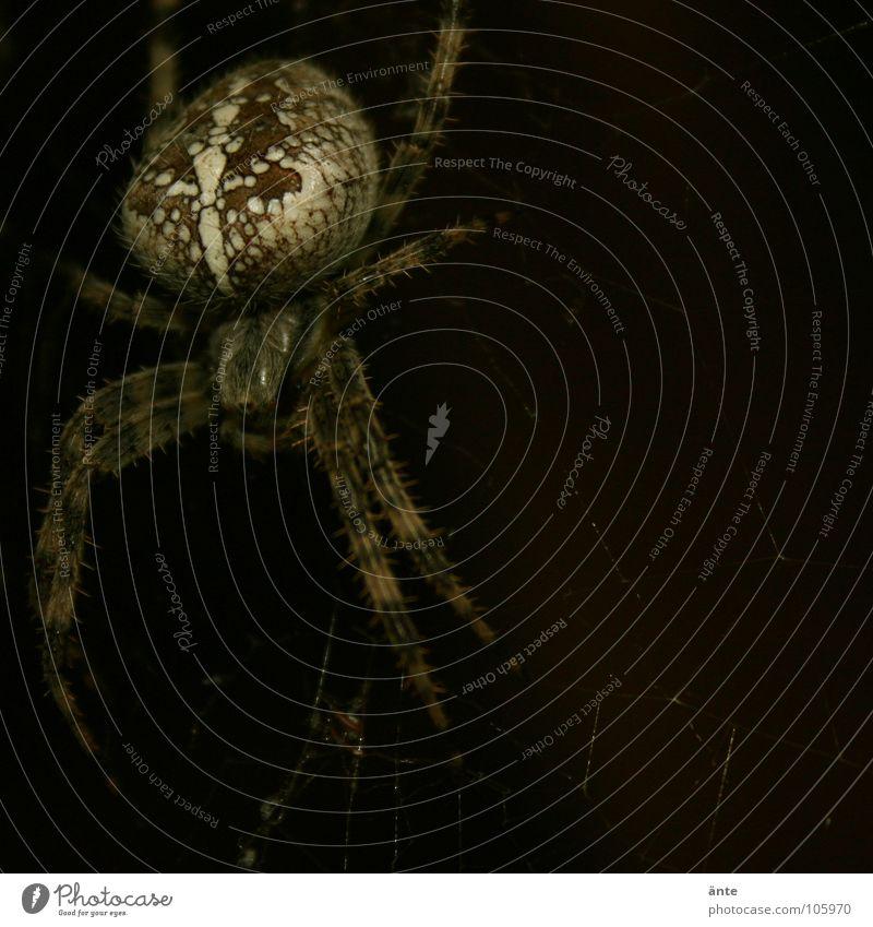 meine lieblingsbettgenossin Angst gefährlich Insekt Ekel Panik Spinne ungefährlich Mutprobe Kreuzspinne