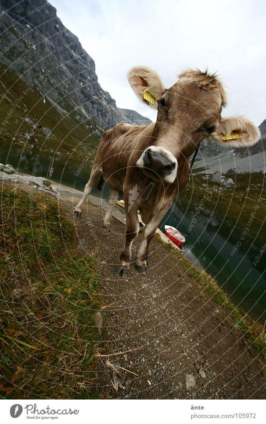 was guckst du? Kuh Kanton Graubünden Schweiz Klischee Rind Gebirgssee Blick Weitwinkel Wasserfahrzeug Alpen braunvieh Interesse cow alps Berge u. Gebirge
