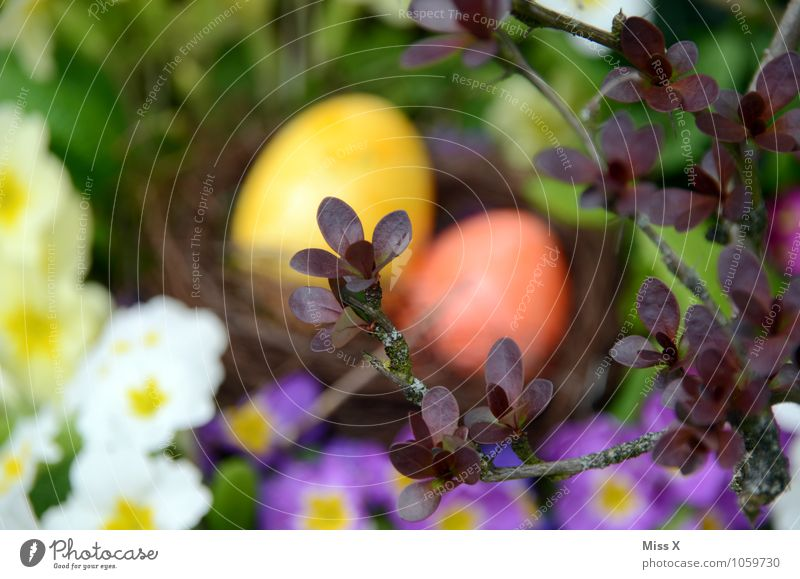 versteckt Lebensmittel Ernährung Ostern Natur Frühling Blume Blüte Garten mehrfarbig Suche Osternest Osterei Ei Nest Versteck verstecken finden Kissen-Primel