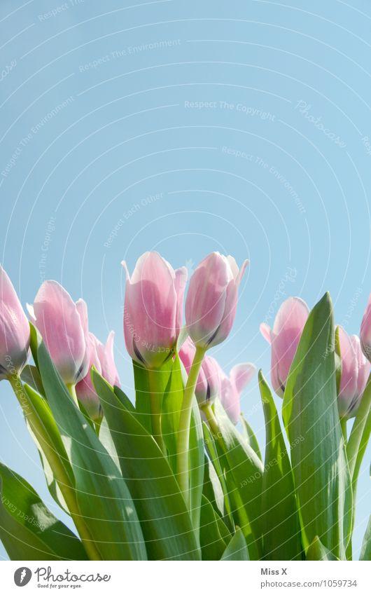 Tulpe Himmel Wolkenloser Himmel Frühling Schönes Wetter Blume Blüte Garten Blühend Wachstum rosa Stimmung Frühlingsgefühle Tulpenblüte Tulpenfeld Frühlingsblume