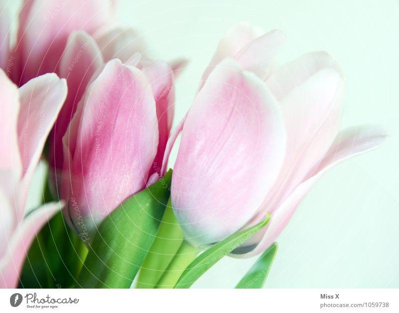 früh...ling Blume Blüte Frühling Stimmung rosa Blühend Tulpe Frühlingsgefühle Tulpenblüte