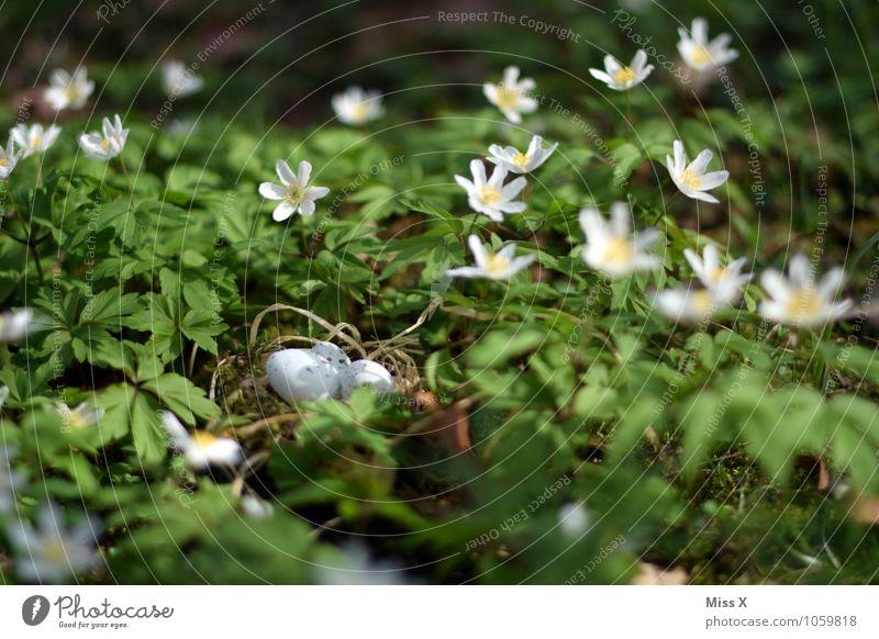 Nest im Busch(windröschen) Ostern Umwelt Natur Tier Frühling Blume Blüte Wiese Vogel Tierjunges klein Osternest Horst Vogeleier verstecken Waldboden