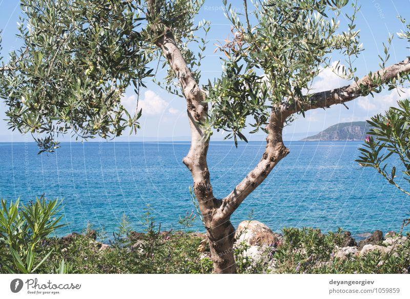 Olivenbaum am Strand. Blauer Himmel. Natur Ferien & Urlaub & Reisen blau Pflanze grün Sommer Sonne Baum Erholung Meer Landschaft Wolken Küste Idylle