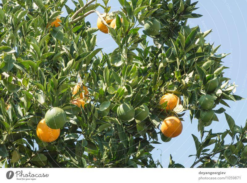 Orangen auf einem Ast. Orangenbäume in der Plantage. Frucht Saft Garten Umwelt Natur Pflanze Baum Blatt Wachstum frisch lecker natürlich saftig grün