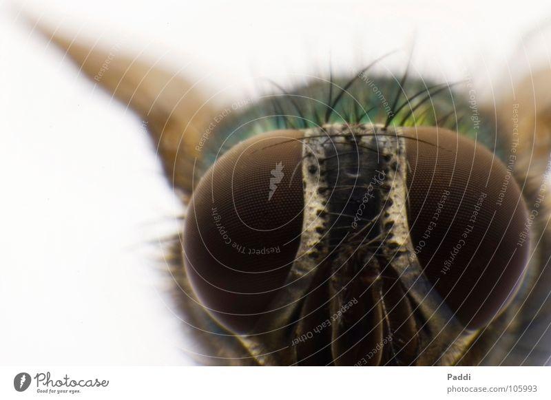 Glubschauge nah Makroaufnahme Facettenauge winzig Macht Fliege Retroring Insekt Tier komplex klein groß Nahaufnahme D50 Detailaufnahme Haare & Frisuren Mandibel
