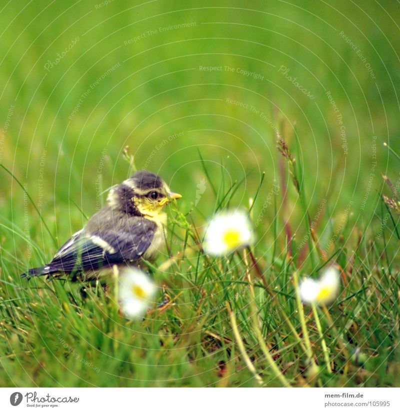 flügge? Vogel Küken Gänseblümchen süß niedlich Nest Meisen Fink grau Schnabel Krallen Stroh Frühling vogelbaby Ei Garten Natur Feder jungvogel Tierjunges