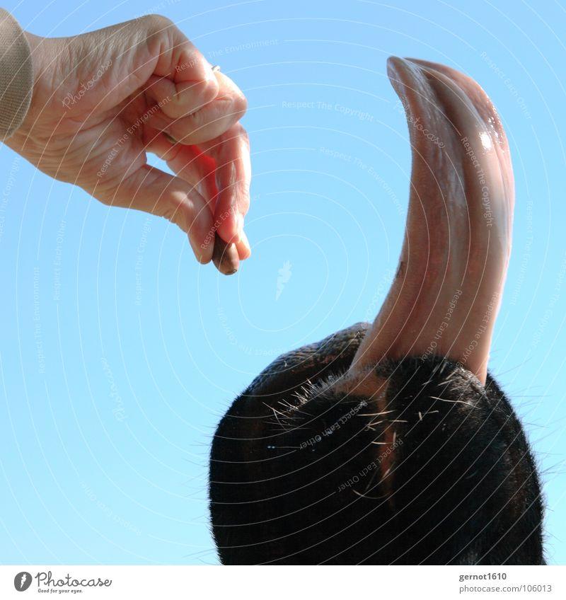 Lecker Schmecker! Kuh Kalb Rind Hand füttern Futter lecker Speichel Fell Tier Freude Säugetier Eicheln Schwarzbunt Zunge Maul Sabber Haare & Frisuren