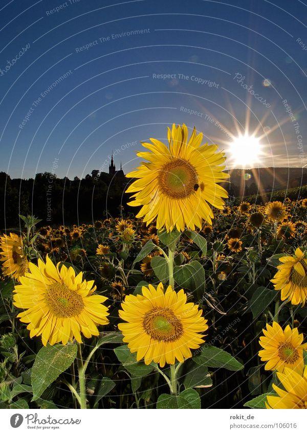 Hab Sonne im Herzen blau grün Sommer Blume Freude gelb Beleuchtung Horizont Feld stehen Stengel Biene Sonnenblume strahlend Darmstadt