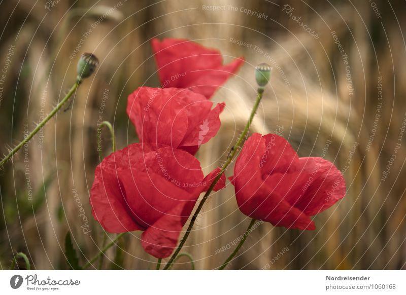 Sommer Natur Pflanze rot Blume Landschaft Wärme Blüte Stimmung braun Feld Wachstum Idylle Blühend Hoffnung Mohn