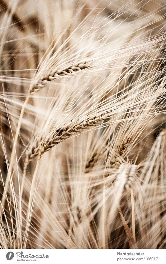 Gerste Getreide Ernährung Landwirtschaft Forstwirtschaft Natur Pflanze Sommer Nutzpflanze Feld Wachstum natürlich braun Leben Reichtum Ernte Gerstenfeld