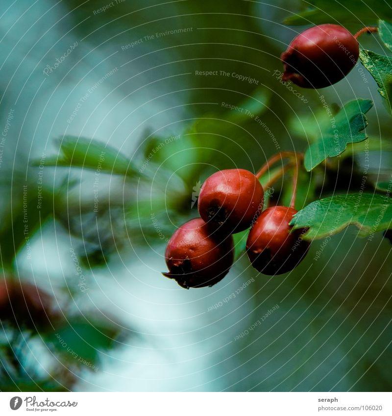 Beeren Natur grün Pflanze Baum rot Herbst Blüte Garten Hintergrundbild Frucht Sträucher reif herbstlich Botanik