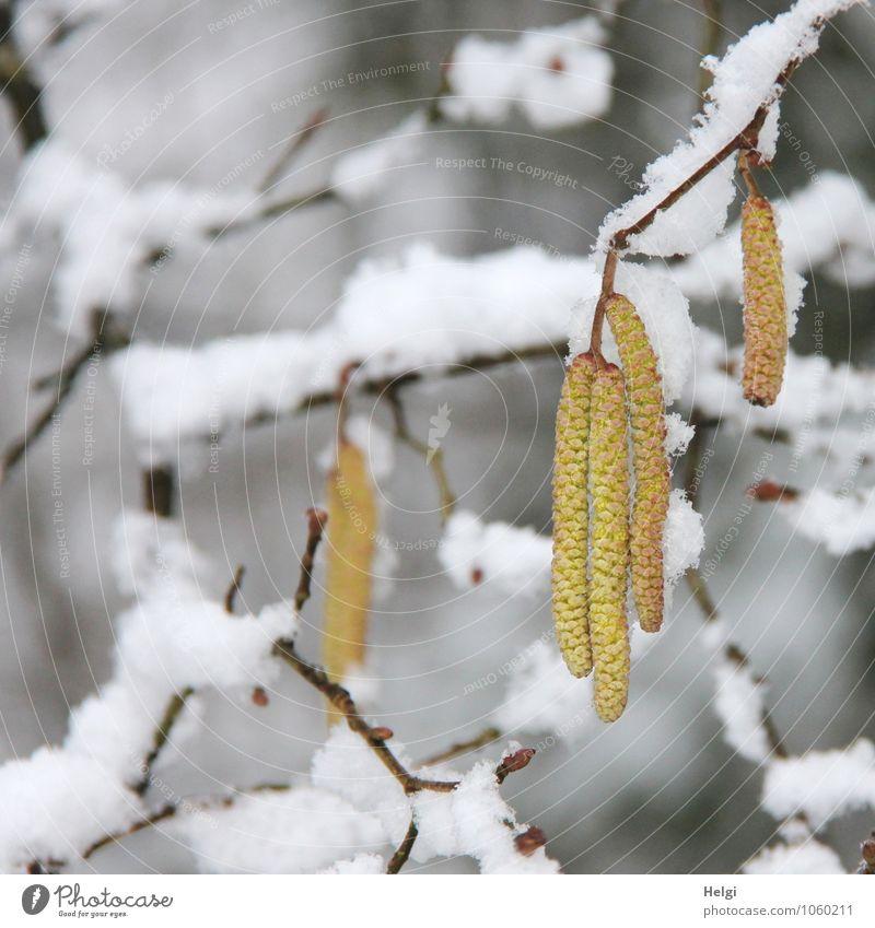 Rückfall... Umwelt Natur Pflanze Winter Schnee Sträucher Blüte Wildpflanze Haselnuss Zweig Wald Blühend frieren hängen Wachstum authentisch außergewöhnlich