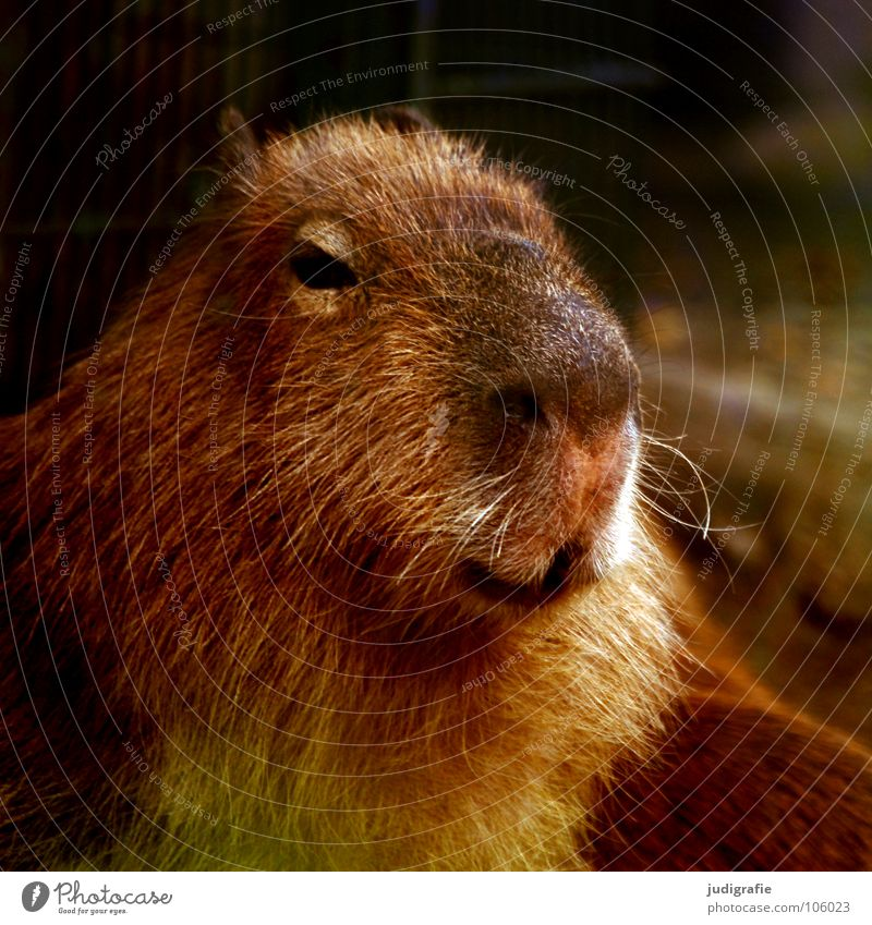 Wasserschwein Nagetiere Säugetier Fell Tier Zoo niedlich Farbe capybara Nase