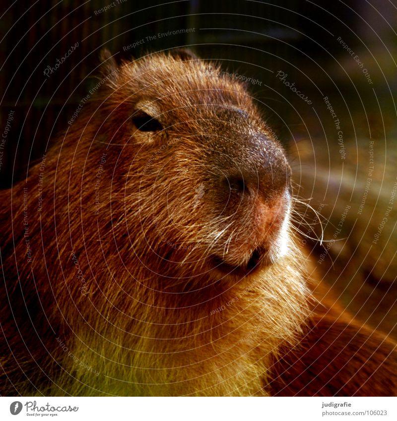 Wasserschwein Tier Farbe Nase niedlich Fell Zoo Säugetier Nagetiere Wasserschwein