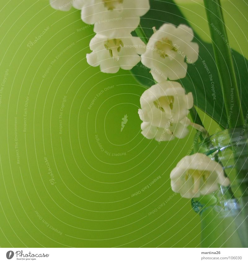 lily of the valley II weiß Blume grün springen Blüte Frühling Glas frisch Dekoration & Verzierung zart Stengel Blühend Duft Blumenstrauß Flasche Vase