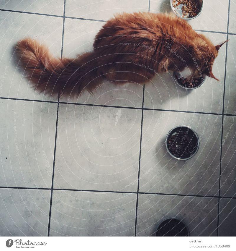 Firefox Hunger! Lebensmittel Katzenfutter Essen Schalen & Schüsseln Küche rothaarig langhaarig Tier Haustier Fell Maine Coon 1 Fressen füttern dick dunkel