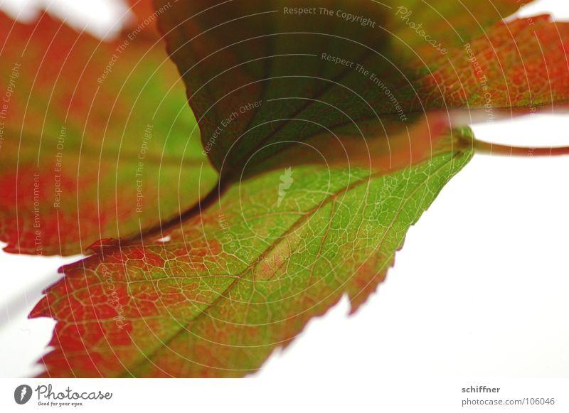 Herbstlaub, die Zweite I Blatt rot grün mehrfarbig Indian Summer Zusammensein Reihe herbstlich im alter Makroaufnahme