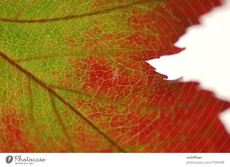 Herbstlaub, die Zweite II grün rot Blatt Herbst Zusammensein Reihe herbstlich Indian Summer