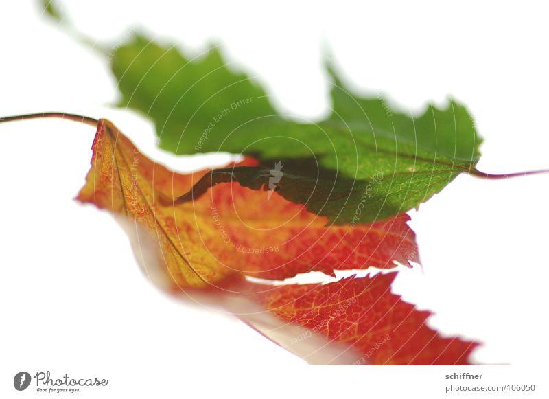 Herbstlaub, die Zweite III Blatt rot grün mehrfarbig Indian Summer Zusammensein Reihe herbstlich im alter Makroaufnahme