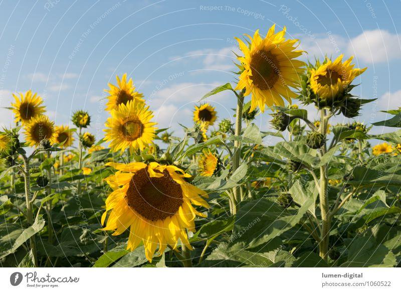 Sonnenblumen Sommer Landwirtschaft Forstwirtschaft Wolken Blume Feld gelb anbau himmel reif Sonnenblumenfeld Sonnenblumenkern Außenaufnahme Tag