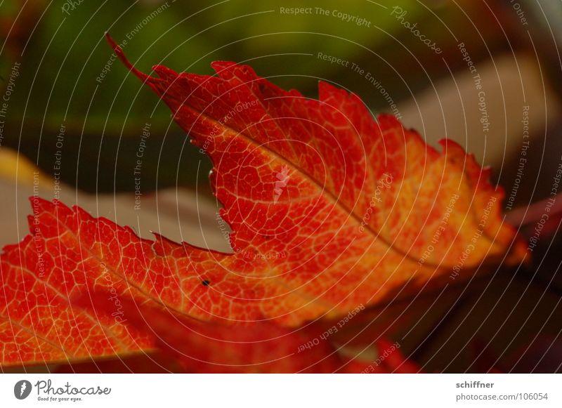 Herbstlaub, mal anders als hell... rot Blatt Reihe herbstlich Indian Summer