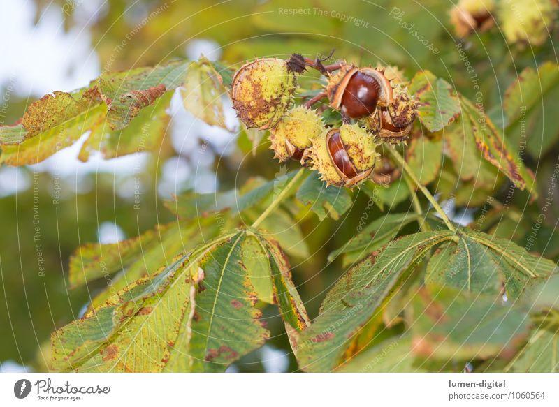 Kastanie Natur Pflanze Herbst Baum Blatt Kastanienbaum hell braun grün Farbfoto Außenaufnahme Tag