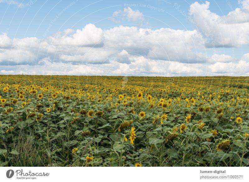 Sonnenblumenfeld unter Sommerhimmel Landwirtschaft Forstwirtschaft Wolken Feld nachhaltig gelb reif Sonnenblumenkern Außenaufnahme Tag Panorama (Aussicht)