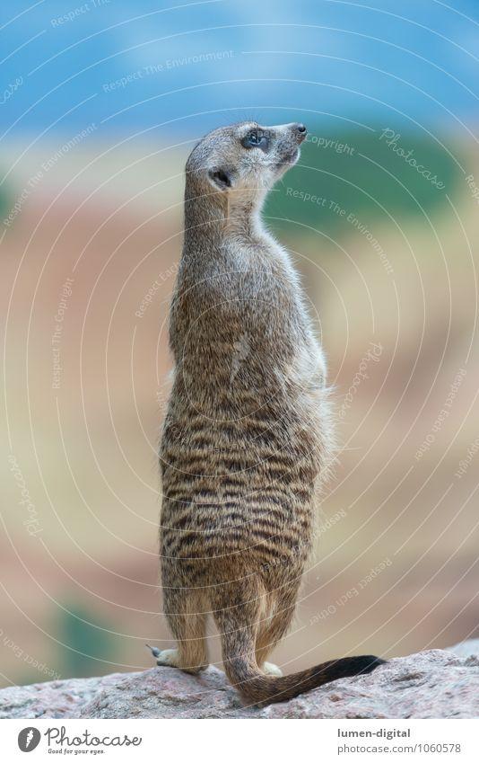 Erdmännchen hält Ausschau Tier lustig Felsen Wetter Wildtier stehen beobachten Körperhaltung Fell Wachsamkeit vertikal Schwanz Nagetiere Erdmännchen Wittern