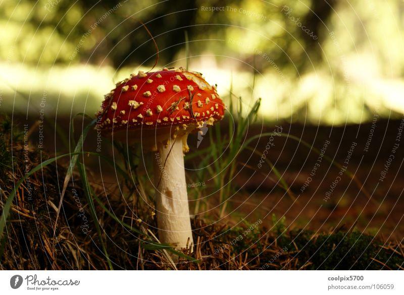 Mmmmm Natur Pflanze rot Wald Herbst Wiese Landschaft wandern Spaziergang Wildtier Pilz Gift Fliegenpilz