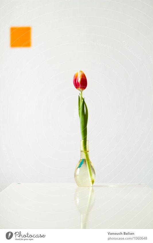 Tulpe vor orangenem Quadrat Umwelt Pflanze Frühling ästhetisch positiv schön grün rot Glas Blumenvase Vase Farbfoto Innenaufnahme Studioaufnahme Menschenleer