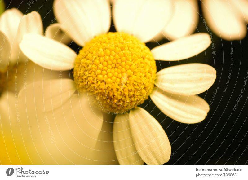 FlowerPower Natur Blume Wiese Gänseblümchen Margerite