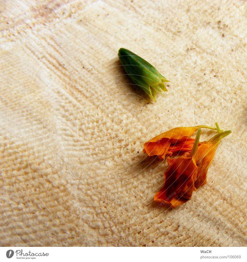 Blümchen züchten schön Garten Pflanze Blume Blüte Holz Frühlingsgefühle Blütenkelch Pollen überwintern Faser Holzfaser trocknen Samen Maserung vertrocknet