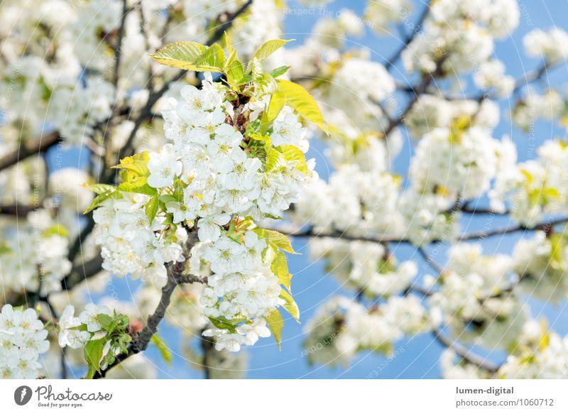 Kirschblüten im Frühling Wolkenloser Himmel Baum Blatt Blüte Park Blühend Wachstum hell weiß Duft Natur sonnenbeschienen Kirsche Zweig blühen Blütenknospen