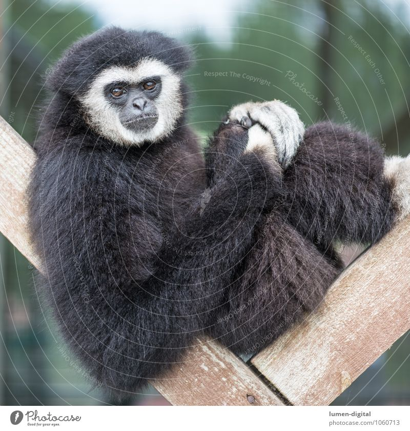 Gibbon sitzt auf Holzgerüst Gesicht Tier Fell Wildtier 1 beobachten sitzen schwarz weiß bequem Affen Menschenaffen Quadrat Säugetier Porträt Farbfoto