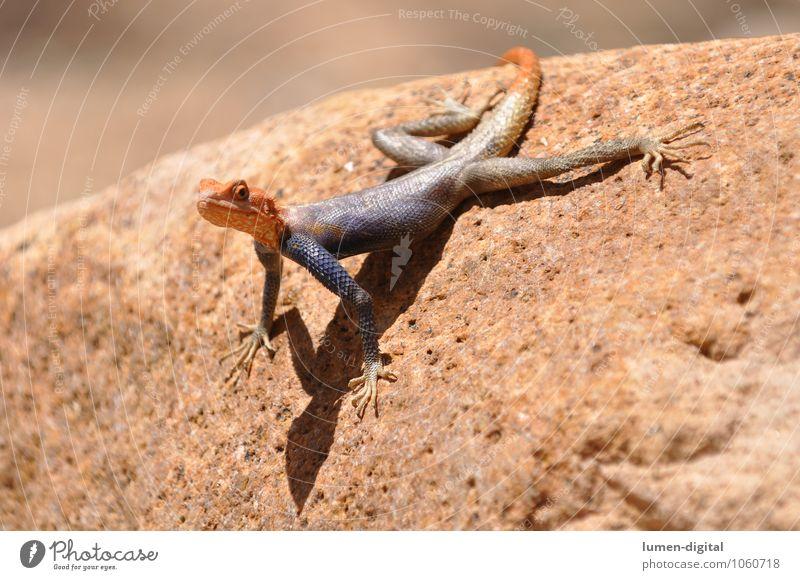 Siedleragame auf einem Felsen mit hochgerecktem Kopf Safari Sonne Tier Urwald Schuppen 1 Stein beobachten orange Wachsamkeit Afrika Namibia abstützen Amphibie