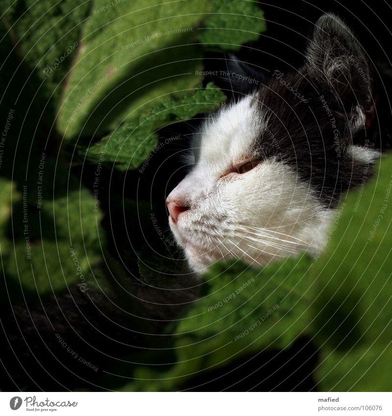 Junglelife Ohr Sträucher Blatt Grünpflanze Fell Katze Wachsamkeit Schnurrhaar Schnauze Säugetier Maine-Coon Auge Schatten