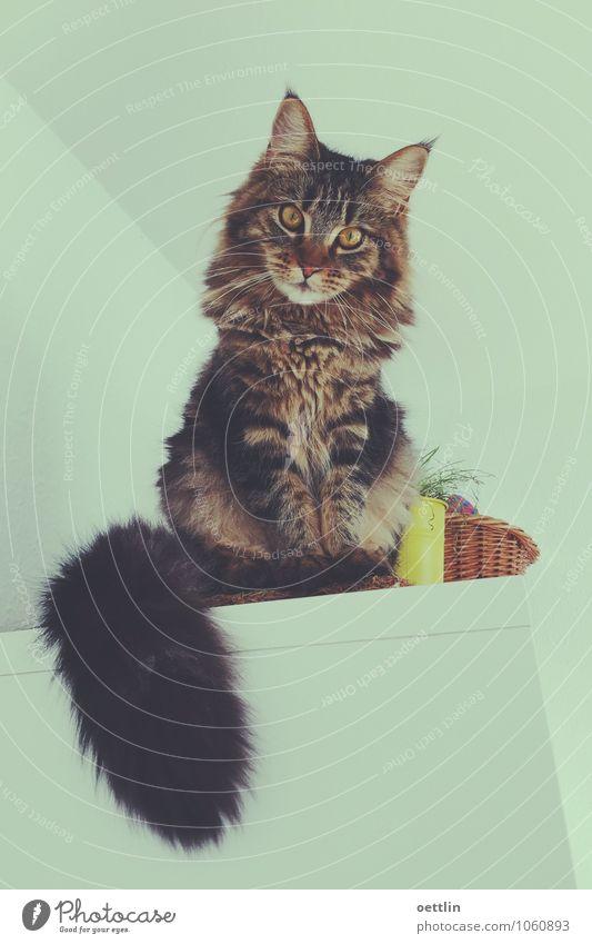 Hallo Safari! Tier Haustier Katze Fell 1 Schrank Korb entdecken hocken hören Blick sitzen leuchten ästhetisch dunkel frech Freundlichkeit groß hell kuschlig