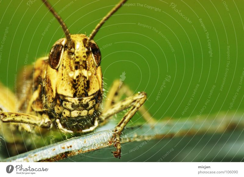 Grinsebert Heuschrecke Langfühlerschrecke Insekt Tier mehrfarbig gelb grün Eisen klein winzig Zwerg Ekel erschrecken unheimlich Facettenauge Ecke hocken