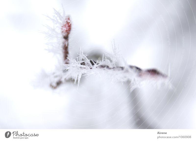Frost III Urelemente Winter Eis Schnee Pflanze Baum Zweig Felsenbirne Blattknospe Kristalle frieren ästhetisch kalt Spitze stachelig rot weiß Klima bewegungslos